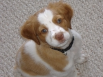 Here is my 'Bandit' as a puppy.    Ron Vincent